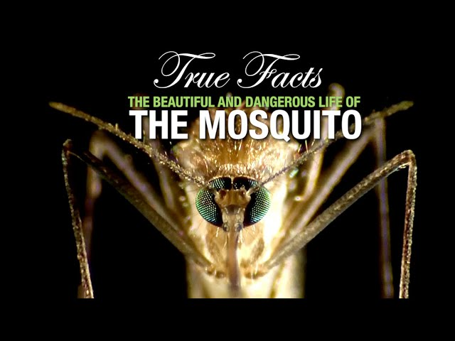 True Facts: The Mosquito HQ quality image