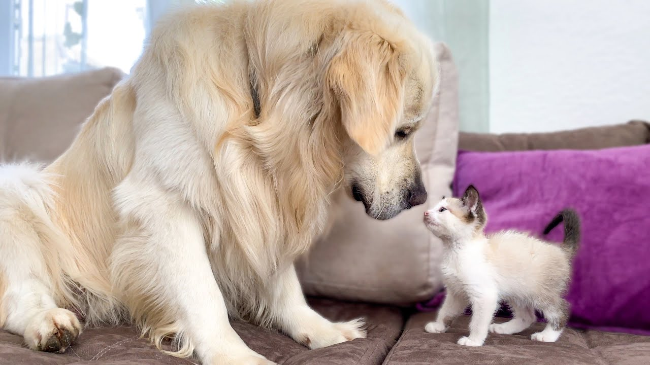 Golden Retriever and Kitten Play for the First Time! HD quality image