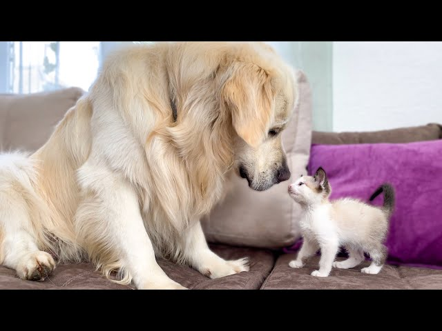 Golden Retriever and Kitten Play for the First Time! HQ quality image